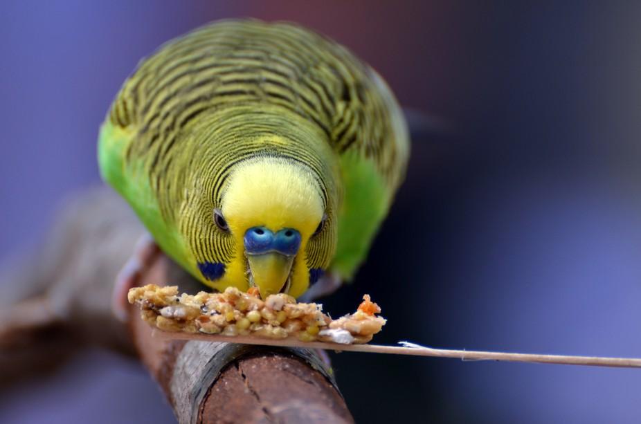A parakeet at Zoo Atlanta munches on a snack.