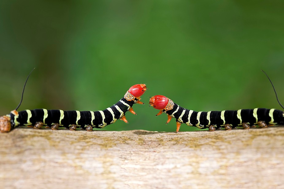A close up shot of a two colorful caterpillars (Pseudosphinx tetrio) as they cross paths looking ...