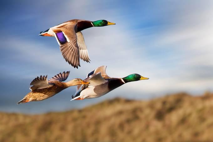 Ducks flying over water