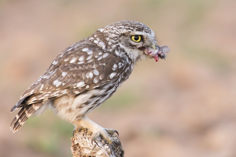 This little owl prefers to eat the mouses head as aperitif.  Just was at the right place at the r...
