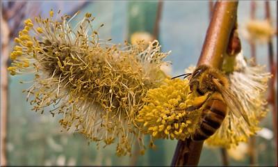 Honey Bee_1