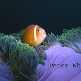Clown fish at home in his purple anemone