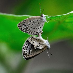 One of them hanging by reproductive organ. Its a great style of mating of butterfly.