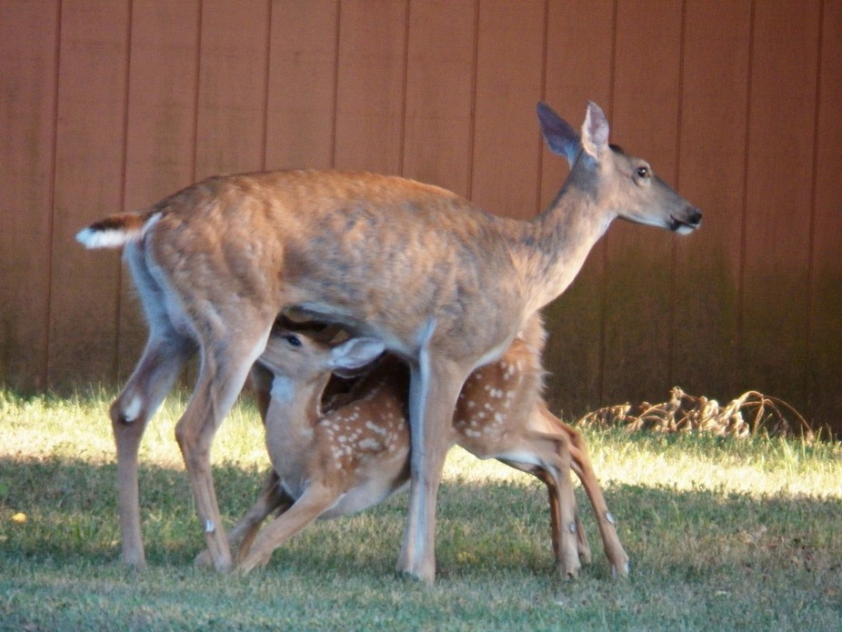 Chance picture of Mother deer feeding her 2 babies, the 2nd one is hidden behind the 1st, so look...