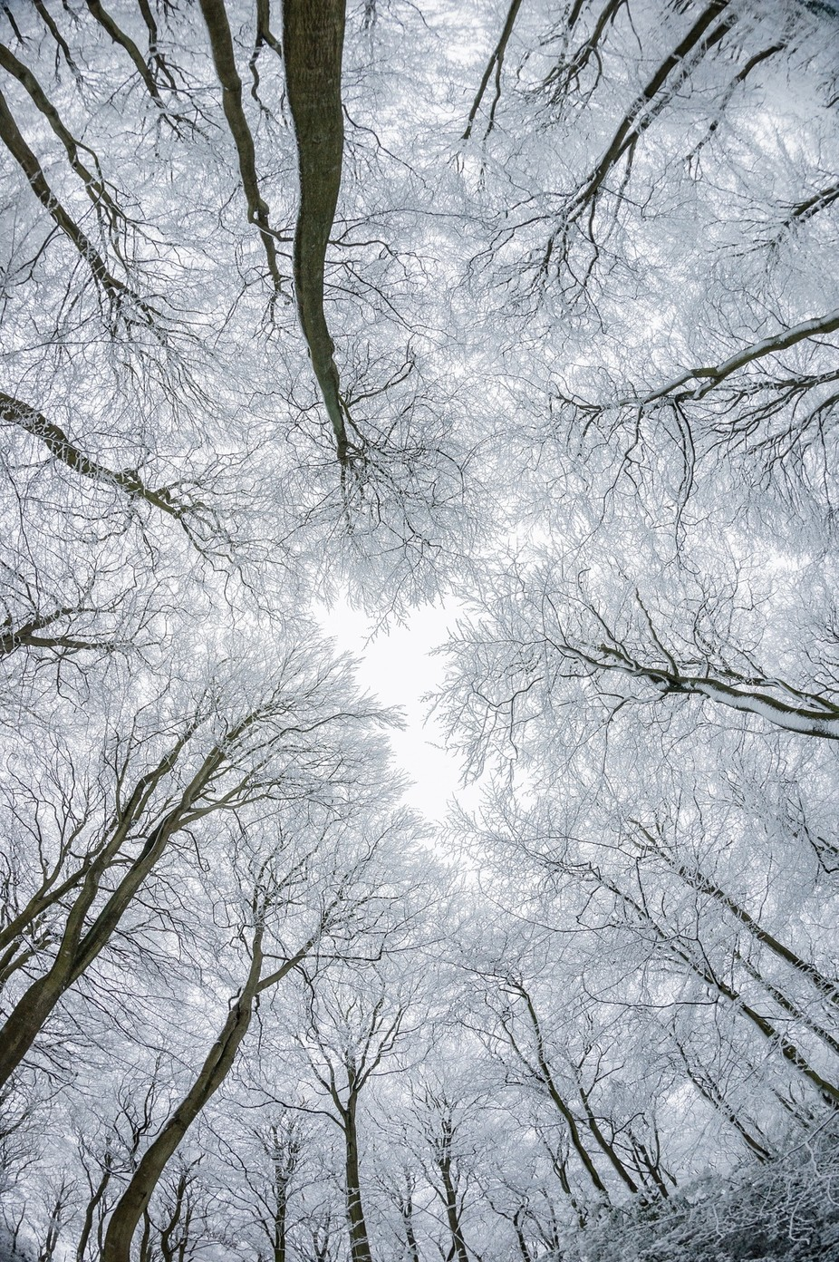 Looking up from snow covered trees with wide angle lens
