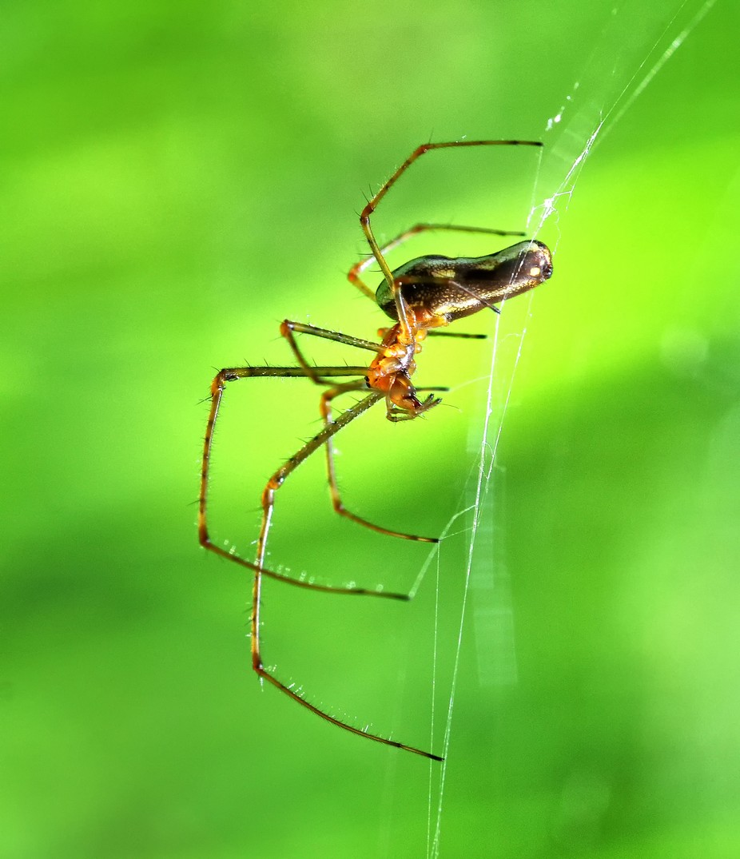 Stretch-spider (Tetragnatha)