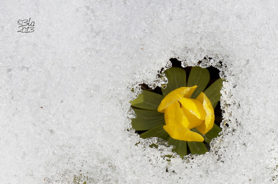 Eranthis emerging through the snow cover.