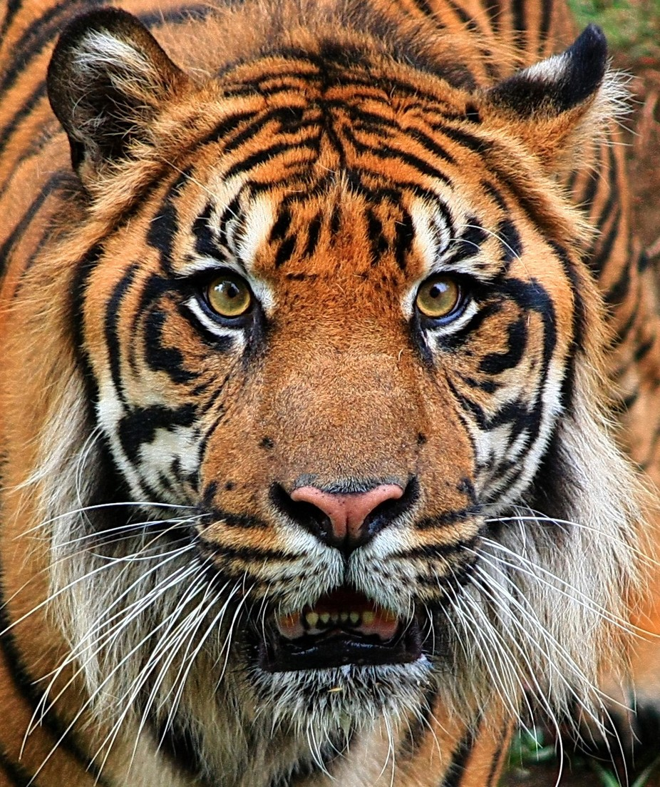 Sumatran Tiger.  The Sumatran tiger (Panthera tigris sumatrae) is a subspecies of tiger found on ...