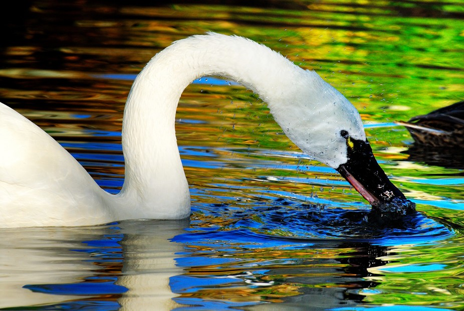 Swan playing the water.