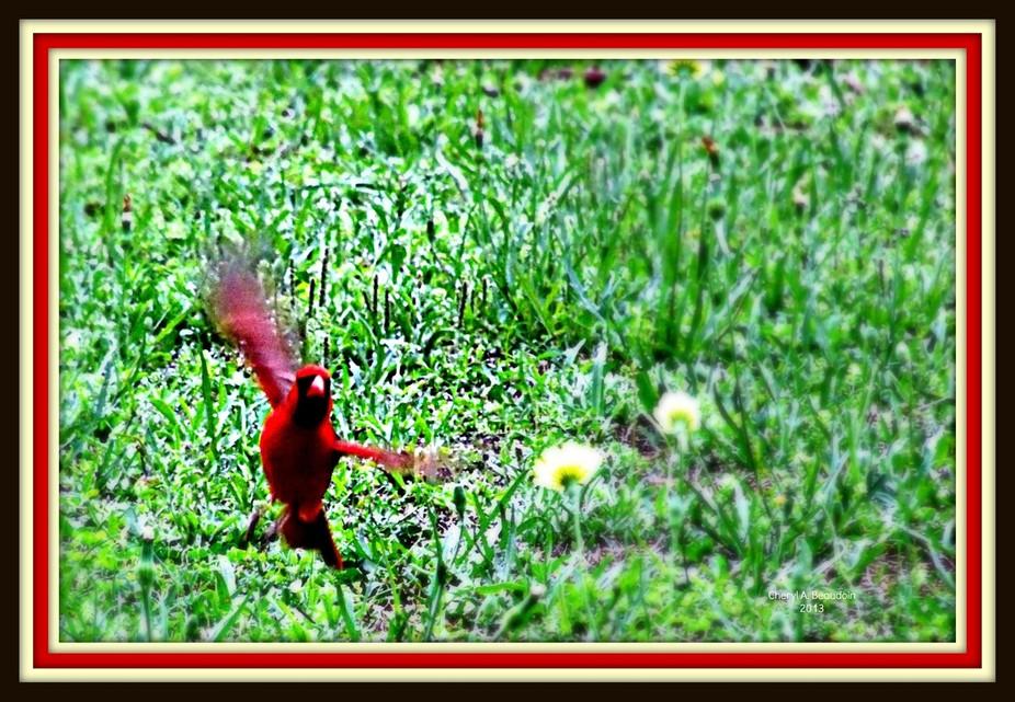 cardinal taking flight