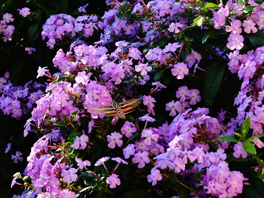 Giant moth drawn to the bright flowers. Was a pain in the neck to get this little moth to hold st...