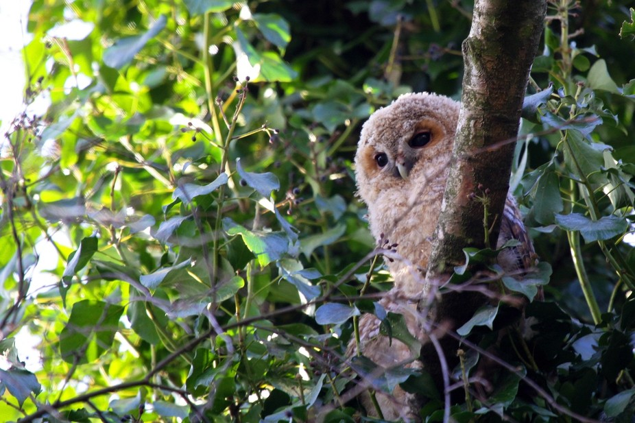 New born Tawny Owl in a park in Haarlem (The Netherlands)