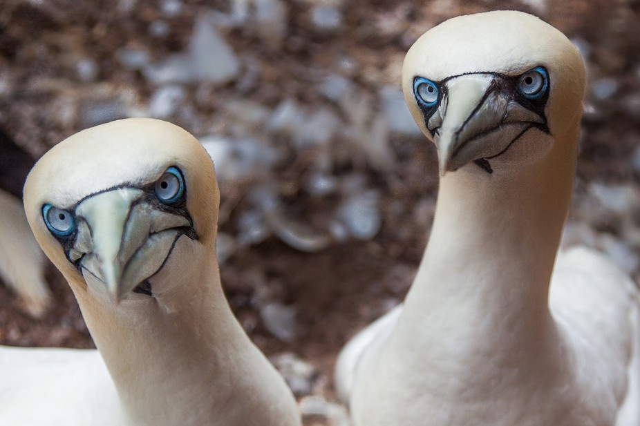 Gannets pair for life and are inseparable .. closeup of this pair was taken on the cliffs of Bona...