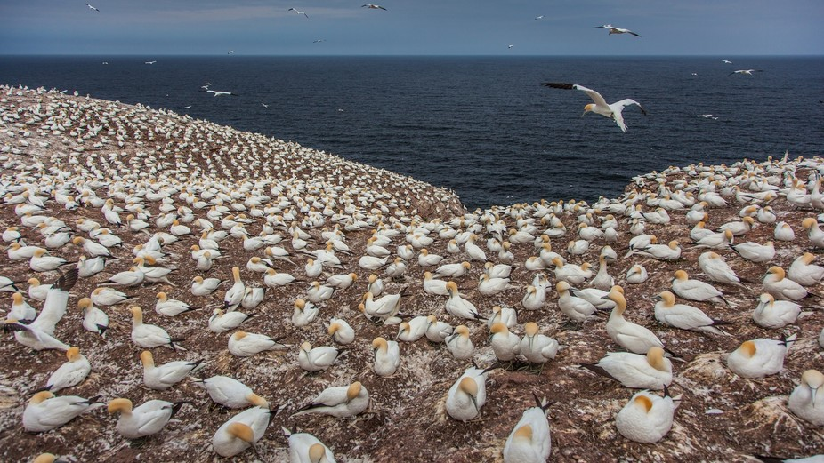 Flocks of Northern Gannets swarm the cliffs of this magical island on the Gulf of St Lawrence, ne...