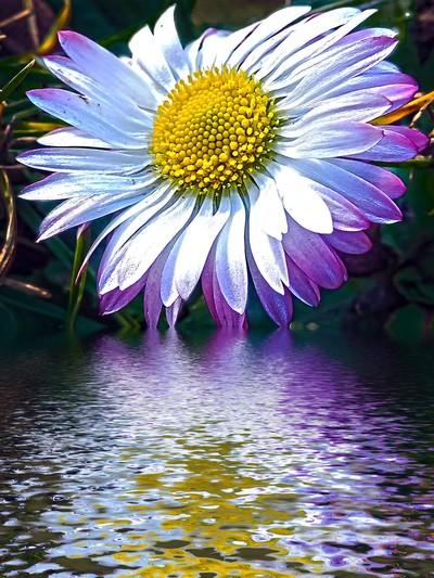 671-pretty daisy
