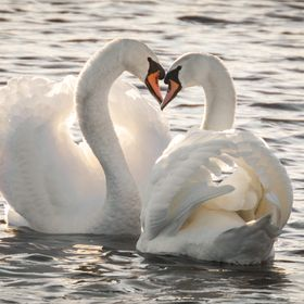 Swanes are friends for life... I thought this was a nice romantic photo...