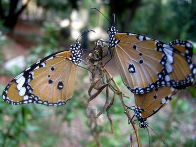 Butterfly couple!