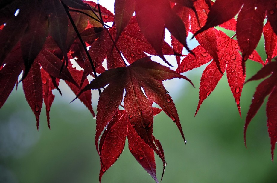 Japanese Maple in the rain