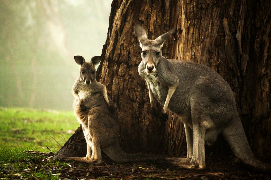 roos in the mist