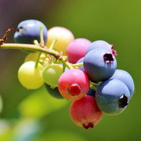 Sunlight filtering through the foliage of the blueberry bushes highlights the mouthwatering red, white and blue berries.