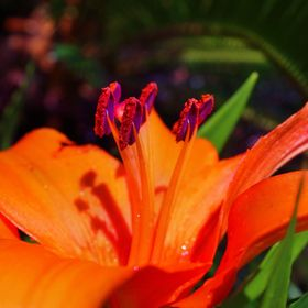 Vivid, contrasting colors makes this lily stand out in my garden. The purple anthers move and dance with the slightest breeze, reminding me of da...