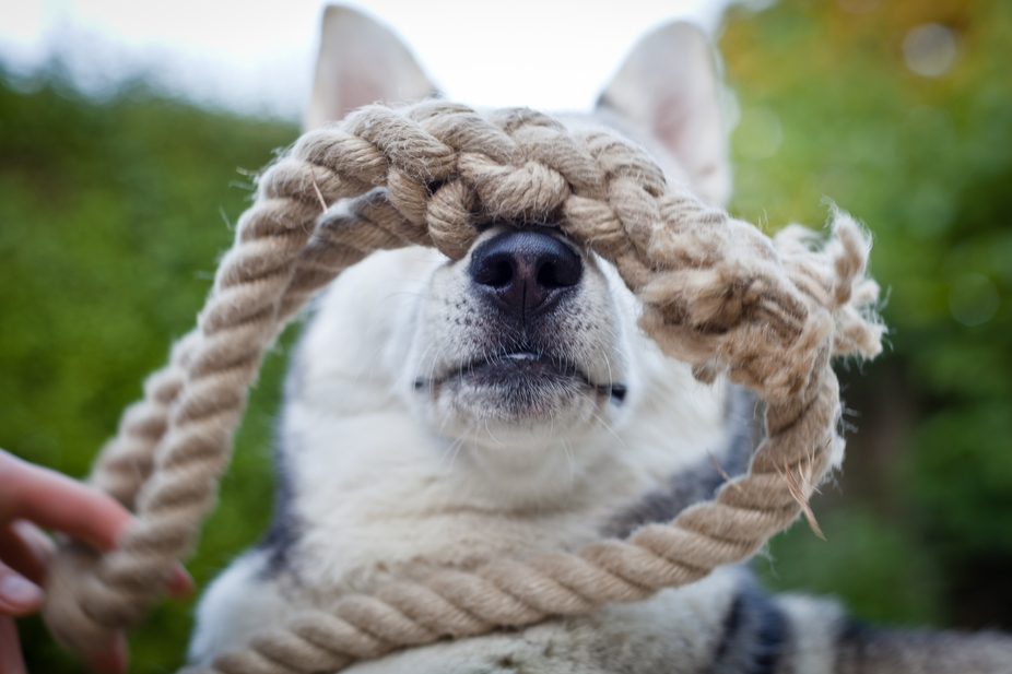 Seksa the husky, playing with some rope