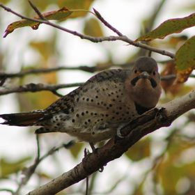 Northern Flicker closer