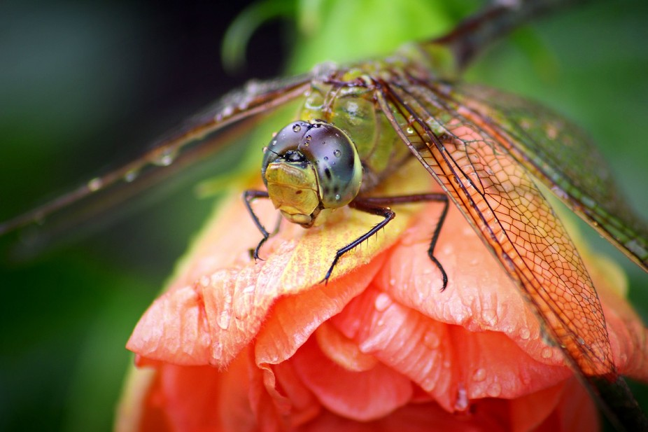 Dragonfly on a Hibiscus bloom September 2014