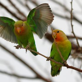 African Love Birds in the wild