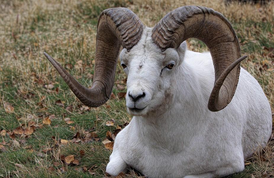 A Dall sheep in the Yukon