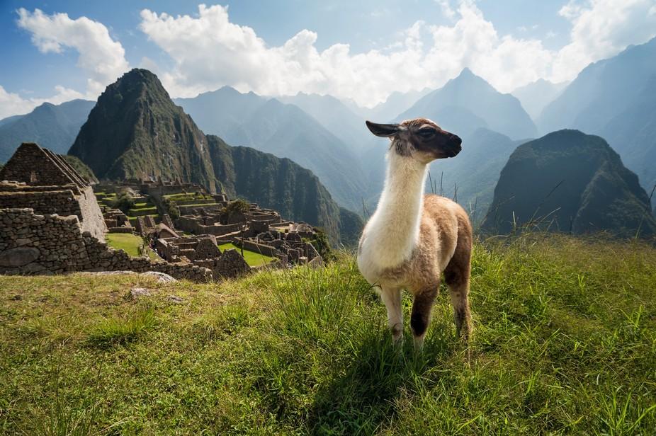A young llama overlooking the ancient city of Machu Picchu, Peru