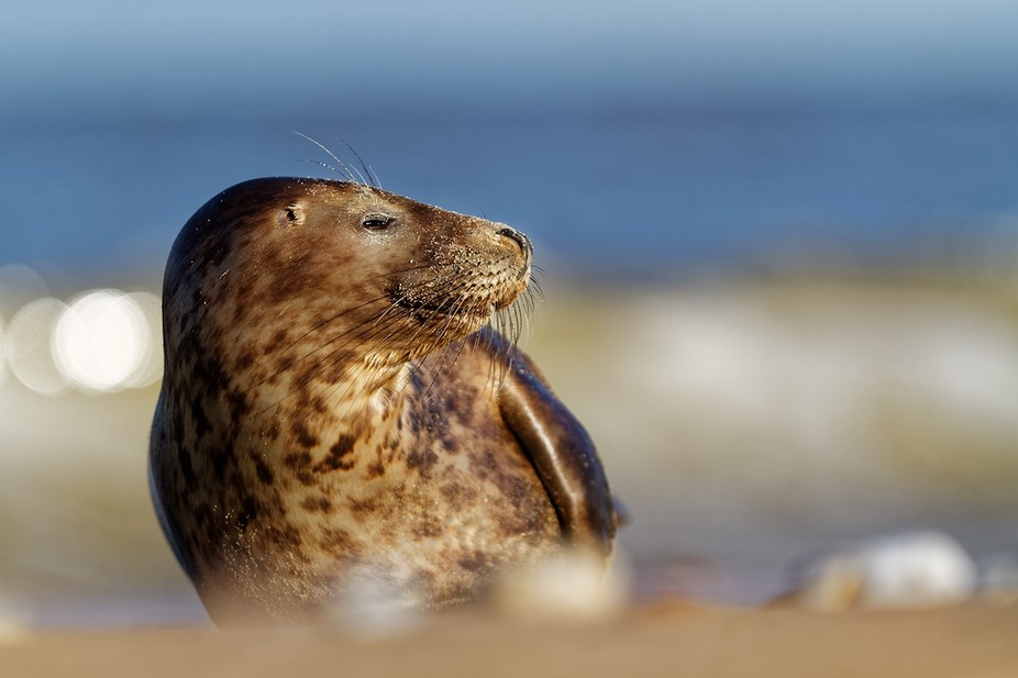 Around half of the world\'s population of grey seals are found around Britain, therefore their pro...
