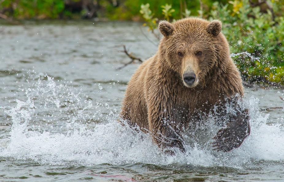 Brown Bear dashes into water chasing a salmon in Alaska.