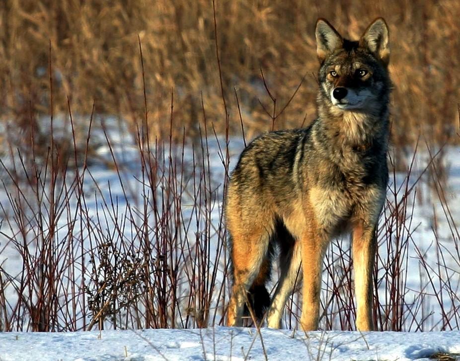 Coyote or Coywolf