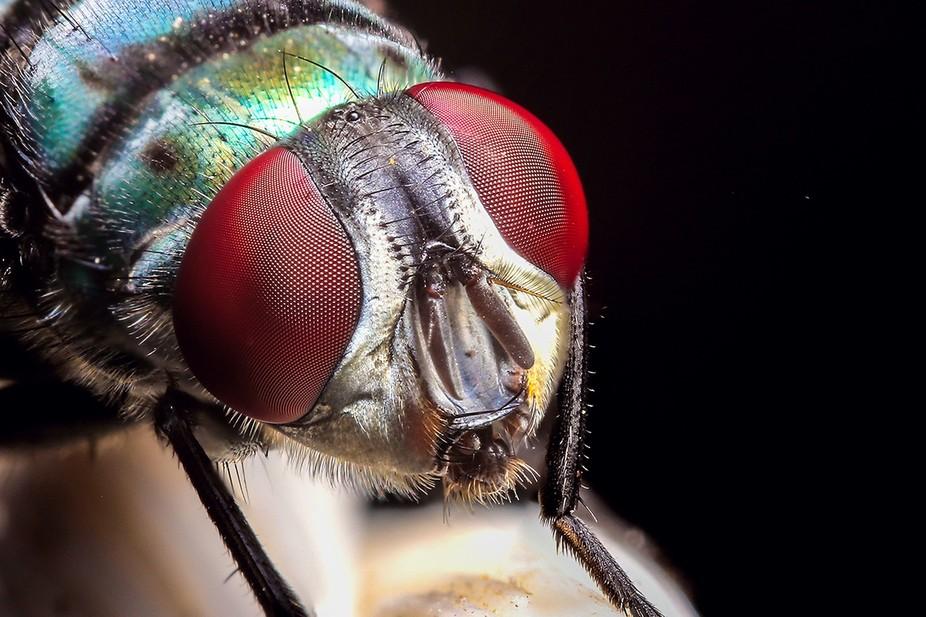 Blue fly eyes