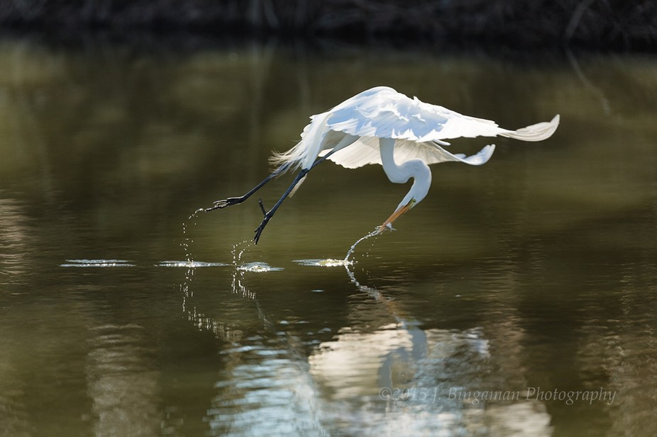 An egret grabs a fish while flying by me.