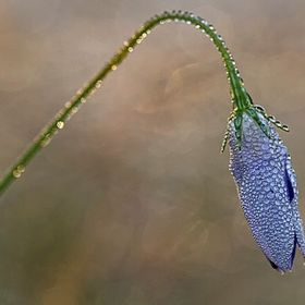 Morning macro shot of a Bluebell