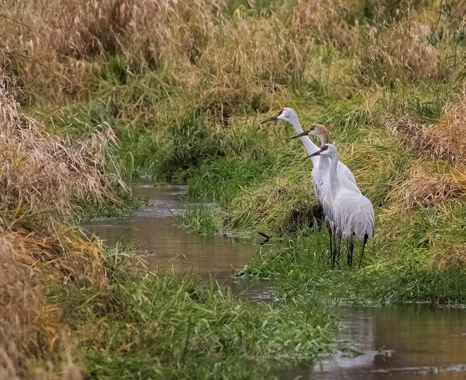 Sandhill Cranes migrating thru Indiana