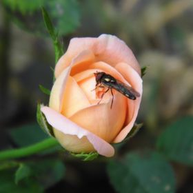 Bug on a Rose