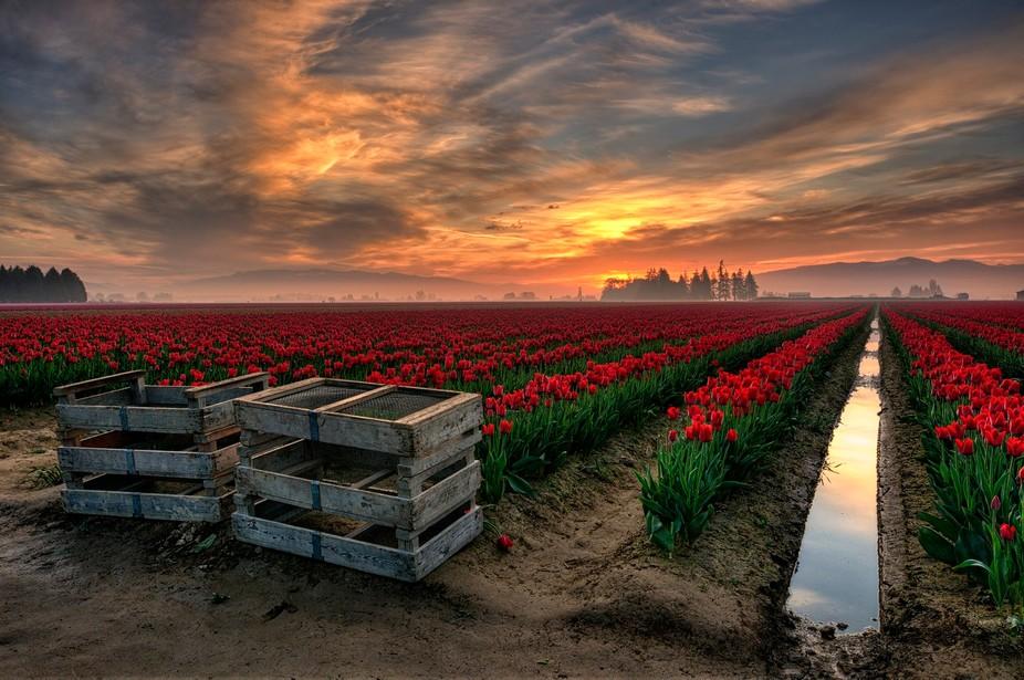 Tulip Festival in the Skagit Valley, WA