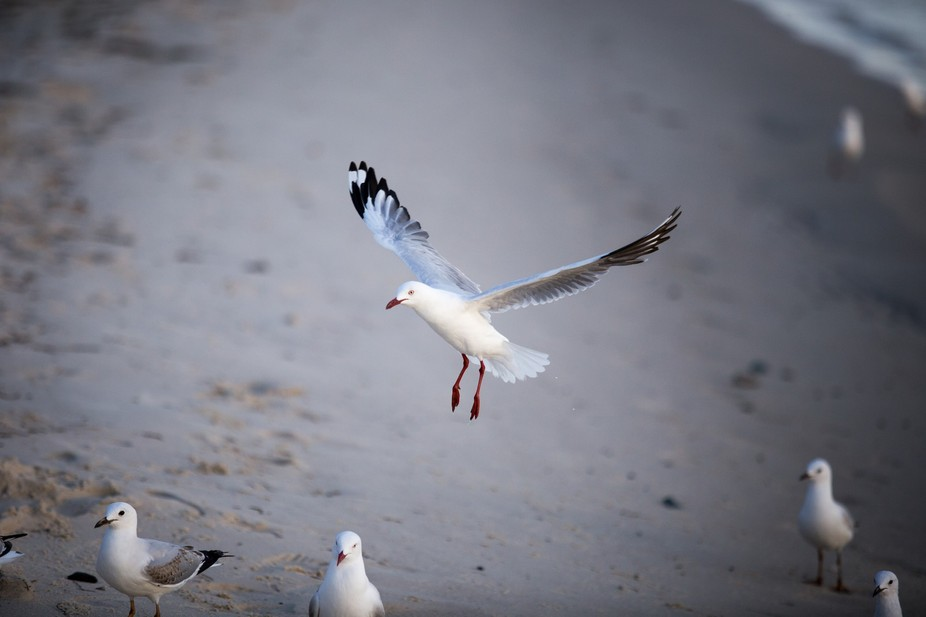 A seagull comes in to land and fight for chips on the beach.