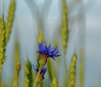 Wild flowers in wheat