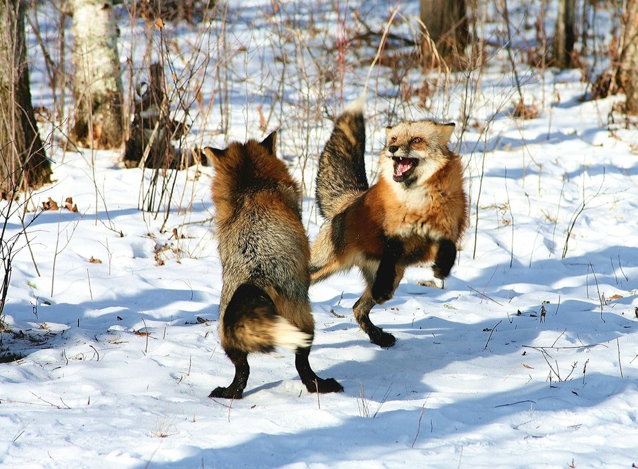 Older and younger fox not happy with each other. It was -17 in Minnesota and the older fox though...