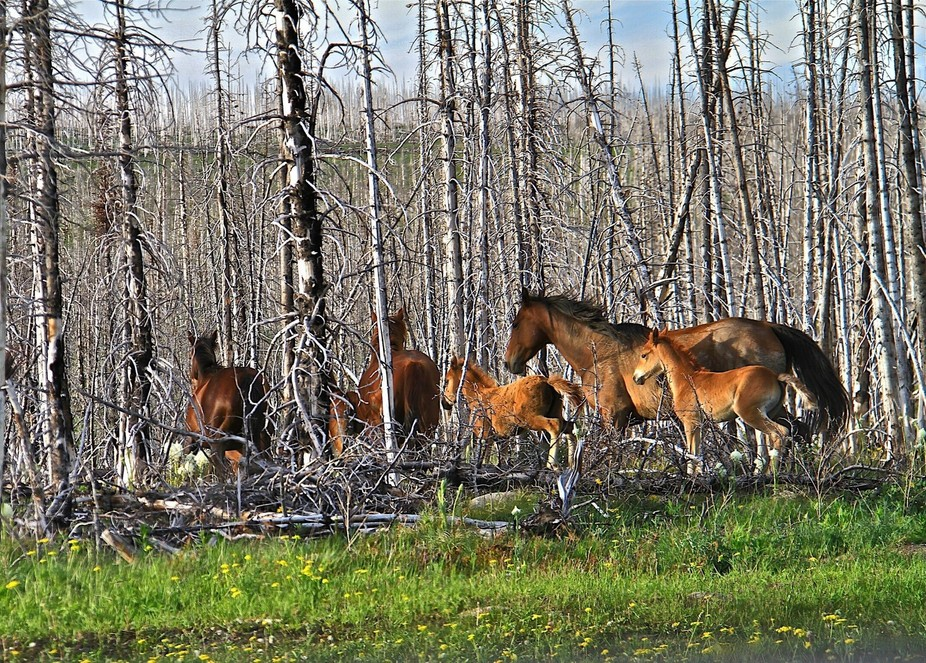 Loose horses just outside of Glacier national park. They crossed the road just in front of me and...