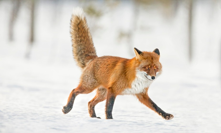 Red Fox vulpes vulpes looking for food in a very cold landscape