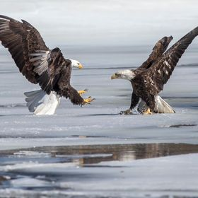 One Eagle refuses to give up his space as another Eagle flies in showing some force.