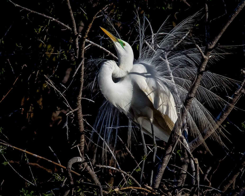 Mating Plumage Of an Egret