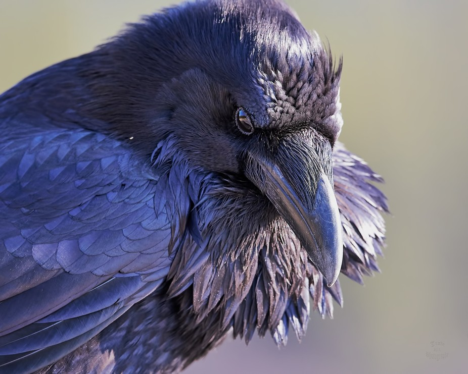Raven-The Watcher