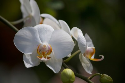 white orchid2015