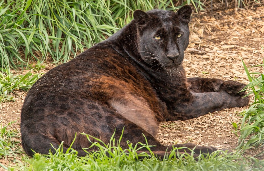 Eddie is showing off his spots. He is at the Wild Animal Sanctuary in Colorado